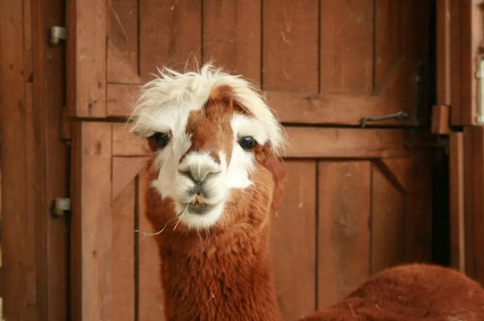 Alpaca, animal muito conhecido na cultura argentina