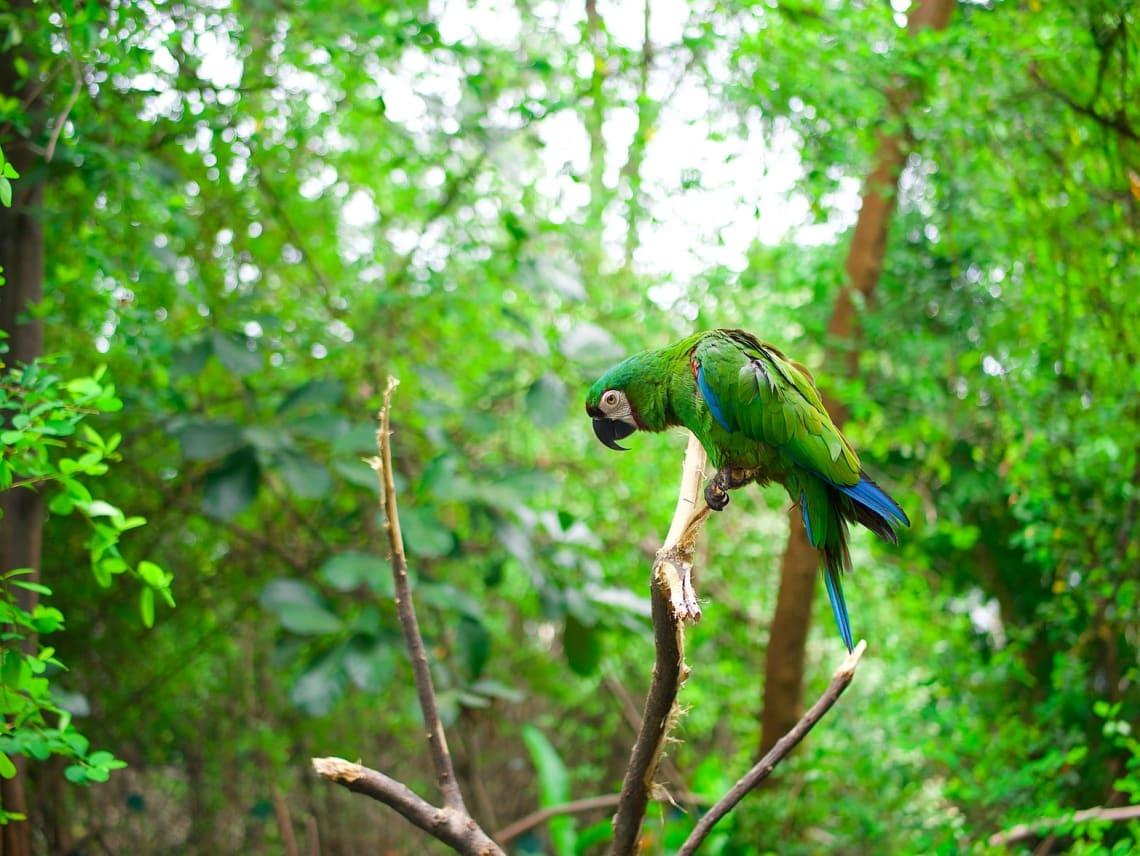 6 experiencias de vida que sólo podrás tener viajando por Sudamérica - Worldpackers - guacamaya verde en medio de los árboles en el Amazonas