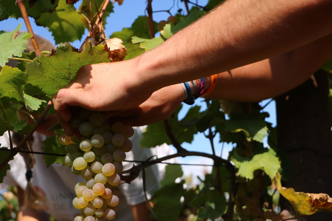 Qué debes saber antes de viajar a Georgia - Worldpackers -Cortando uvas en el viñedo de la familia Aivazashvili en Saniore, Kajetia