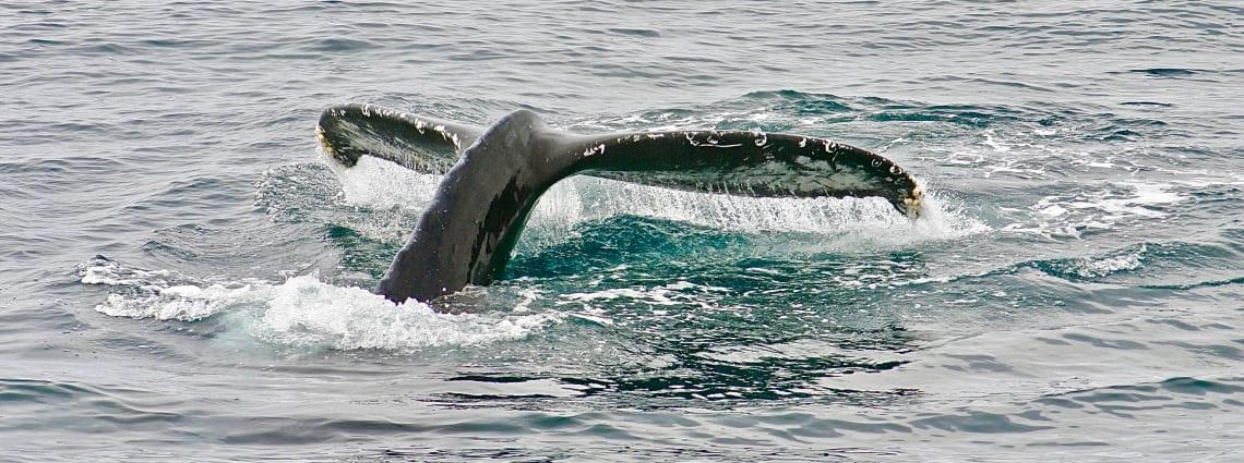 observação de baleias na praia do rosa