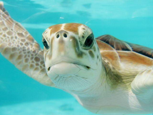 Consejos para viajar barato por México (¡y cosas para hacer gratis!) - Worldpackers - tortuga marina en agua azul turquesa