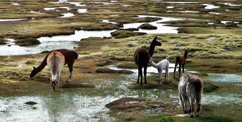 Todas las cosas que hacer en Arequipa y sus alrededores - Worldpackers - alpacas en reserva nacional de salina y aguada blanca en Perú