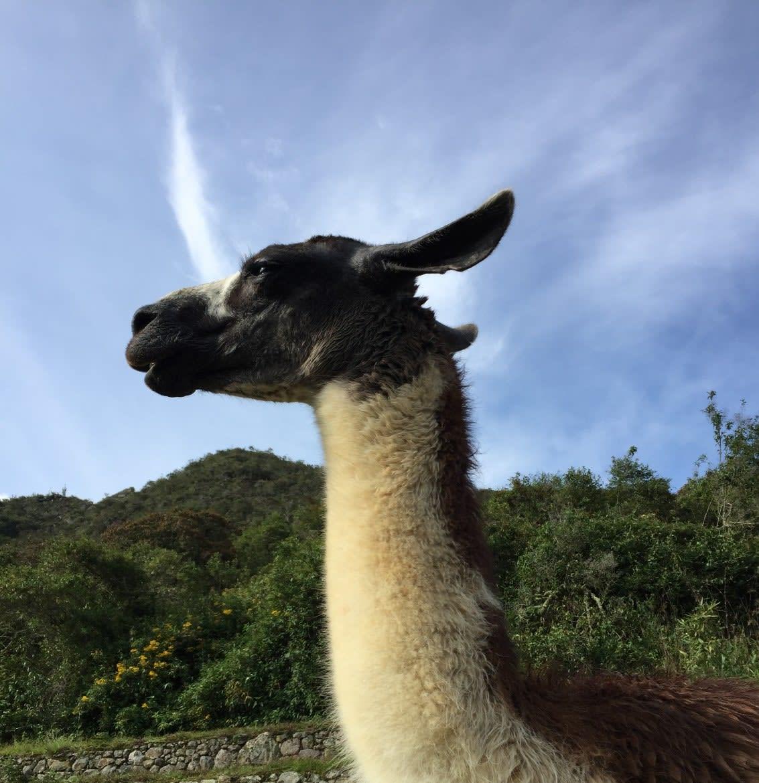 Photo of a llama, Machu Picchu, Peru
