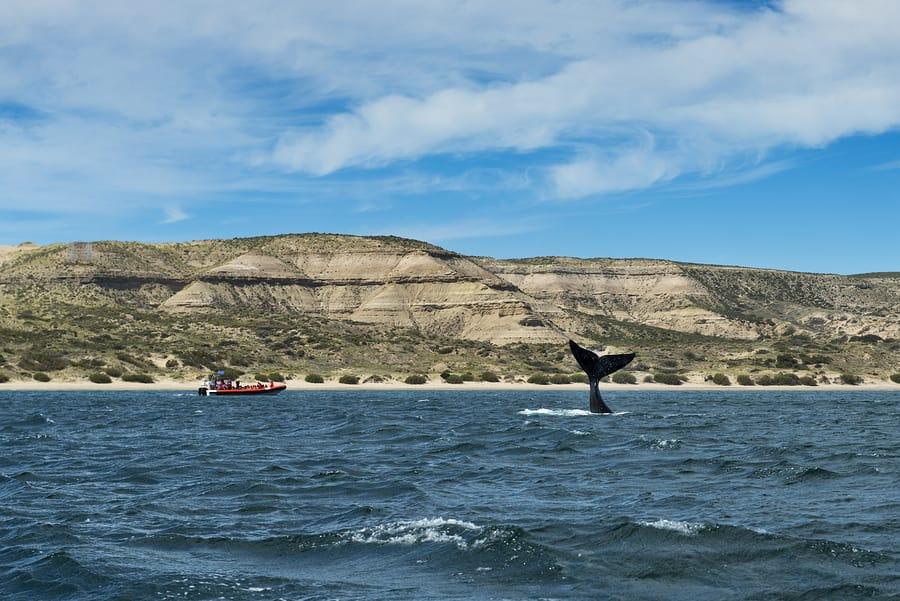 Baleias na Península de Valdés, Patagônia, Argentina.