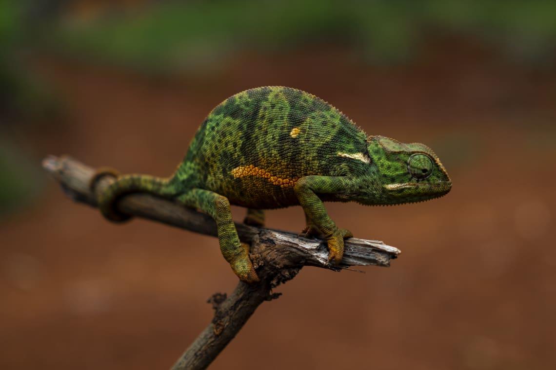 El primer camaleón que vi en mi vida