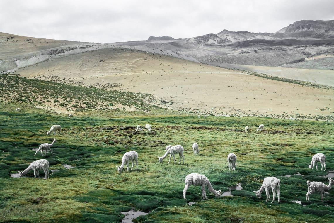 Los 10 mejores parques y reservas naturales en América del Sur que no te deberías perder - Worldpackers - alpacas en valle del colca en peru