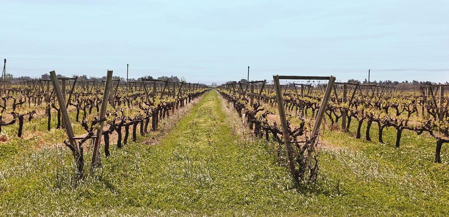 Campos de uva, Carmelo, Uruguai.