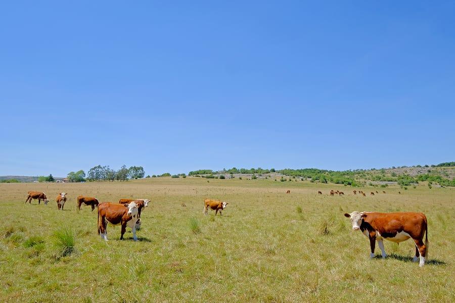 Gado em pasto, interior do Uruguai.