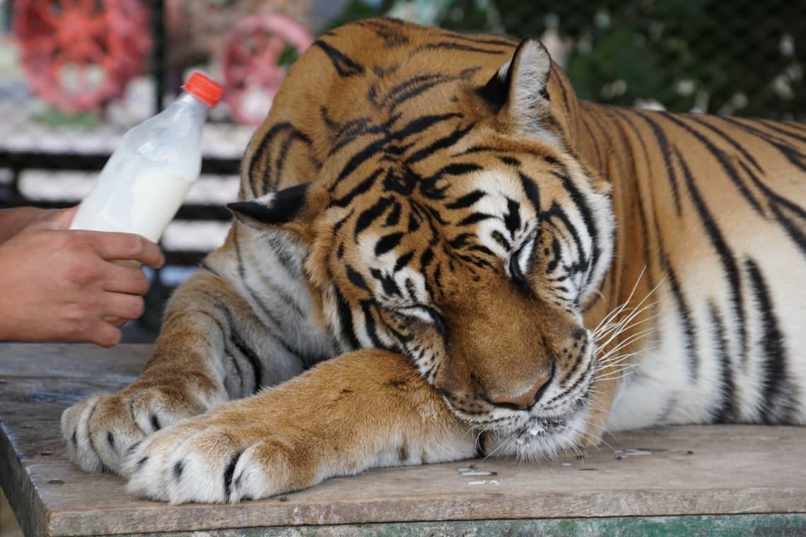 Um caso de maus tratos animais muito comum são os animais dopados em jaulas para tirar foto com turistas