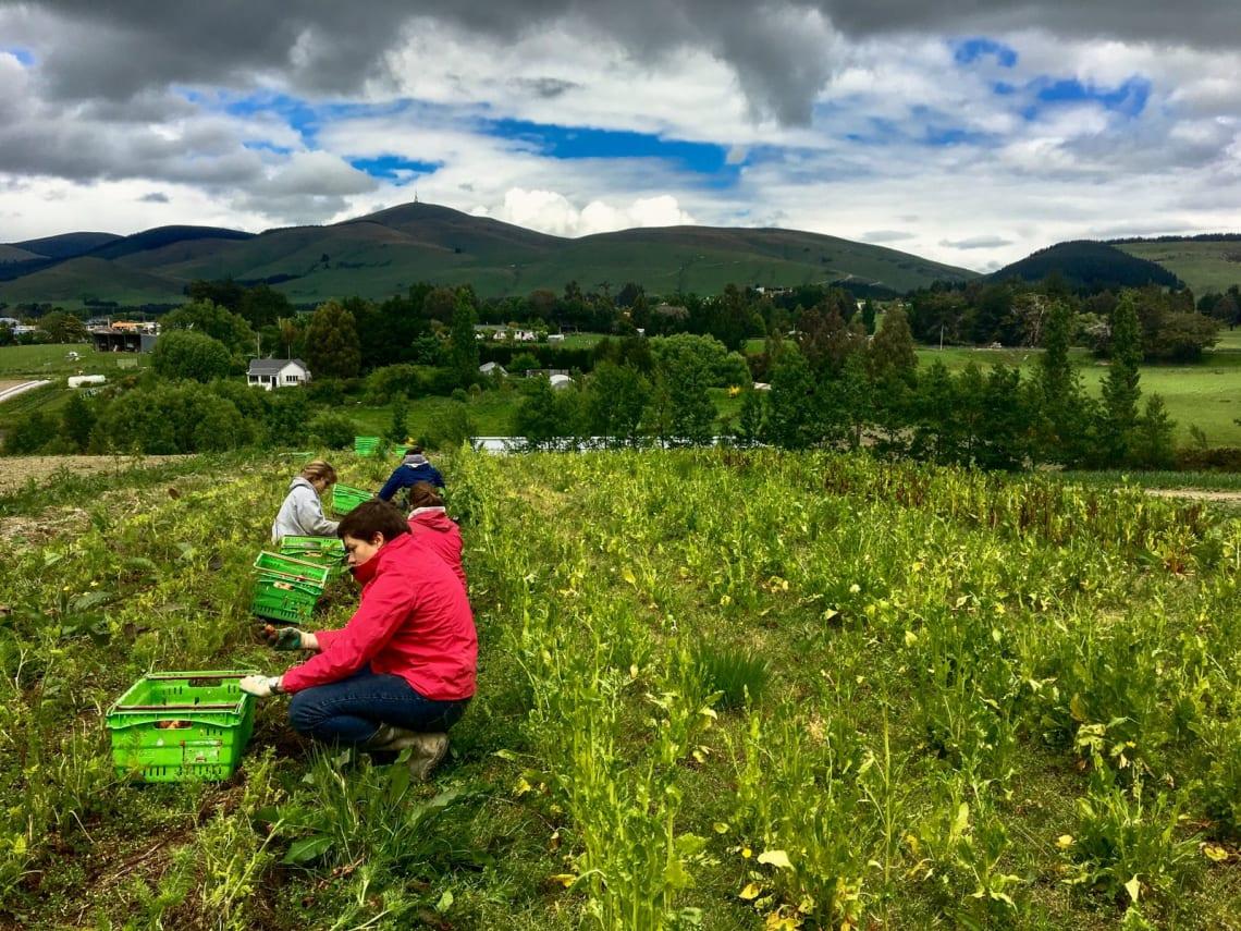 Hacer voluntariado en una granja orgánica en Nueva Zelanda: mi experiencia - Worldpackers - voluntarios en una granja orgánica recogiendo verduras y frutas
