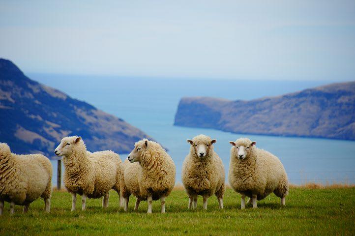 Viajar haciendo voluntariados me ayudó en mi profesión: mi experiencia en Nueva Zelanda - Worldpackers - ovejas con vista sobre acantilado en Nueva Zelanda