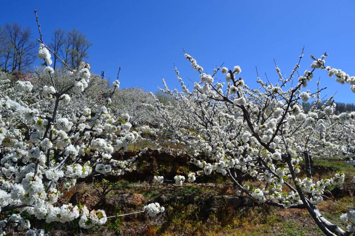 Rutas para recorrer España como mochilero - Worldpackers - árboles con flores blancas
