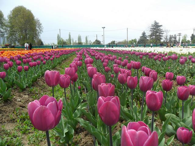 kashmir tulip
