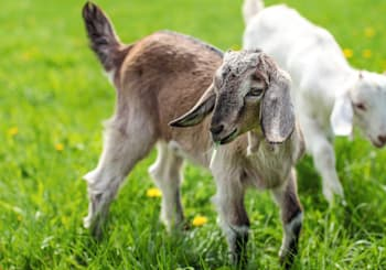 You Can Practice Yoga With Goats in San Marcos!