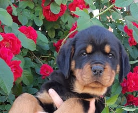Assol Prinselu House - Rottweiler Puppy for sale