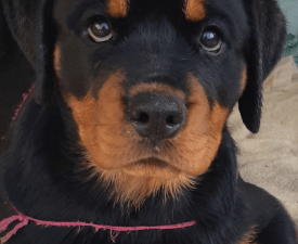 Ayna Princelu House - Rottweiler Puppy for sale