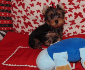 Flossy - Yorkshire Terrier Puppy for sale