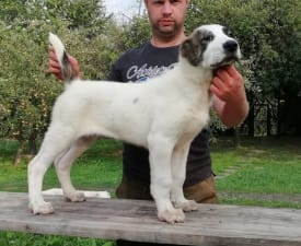 Leo - Central Asia Shepherd Dog Puppy for sale