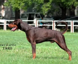 Hennesy - Dobermann Puppy for sale