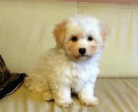 Hiro - Coton de Tulear Puppy for sale