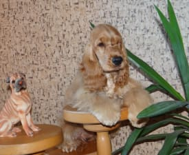Absolute Happy  Winged Dream      - English Cocker Spaniel Puppy for sale