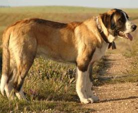 Portugalski pies stróżujący