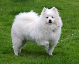 Amerikai eszkimó kutya