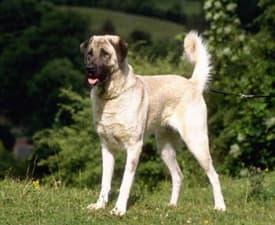 Anatolský pastevecký pes