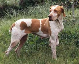 Ariege Pointing Dog