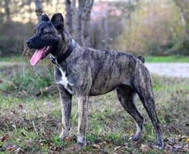 Azores Cattle Dog