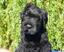 Schwarzer Terrier