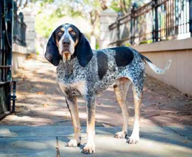 Bluetic Coonhound