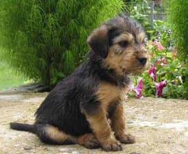 Stichelhaariger Bosnischer Laufhund – Barak