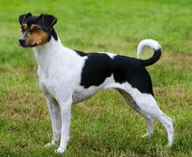 Brazilian Terrier