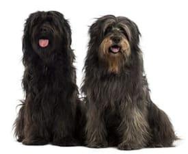 Gos d'Atura Català
