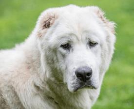 Central Asia Shepherd Dog