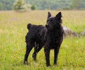 Kroatischer Schäferhund