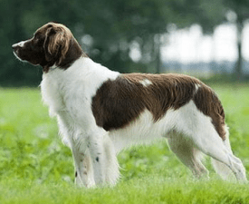 Drentsche Partridge Dog