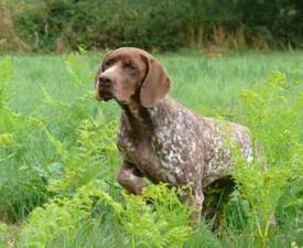 Französischer Vorstehhund, Typus Gascogne