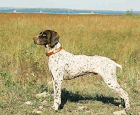Französischer Vorstehhund, Typus Pyrenäen