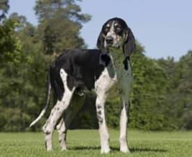 Französischer Laufhund Weiss-Schwarz