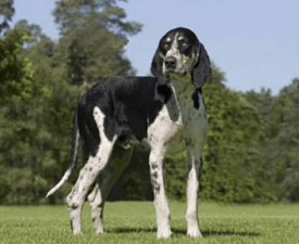 French White and Black Hound