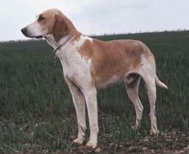Französischer Laufhund Weiss-Orange