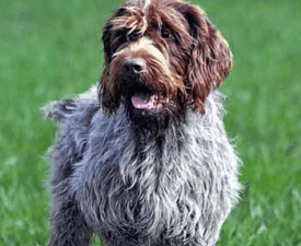 French wire-haired Korthals Pointing Griffon