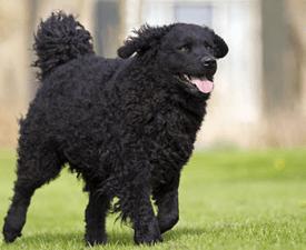 Frisian Water Dog