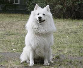 German Giant Spitz