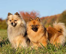 German Medium Spitz