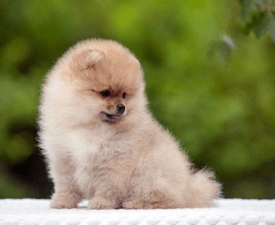 German Miniature Spitz