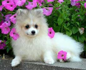 German Pomeranian Spitz