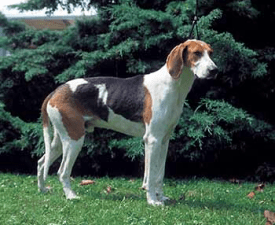 Great Anglo-French Tricolour Hound